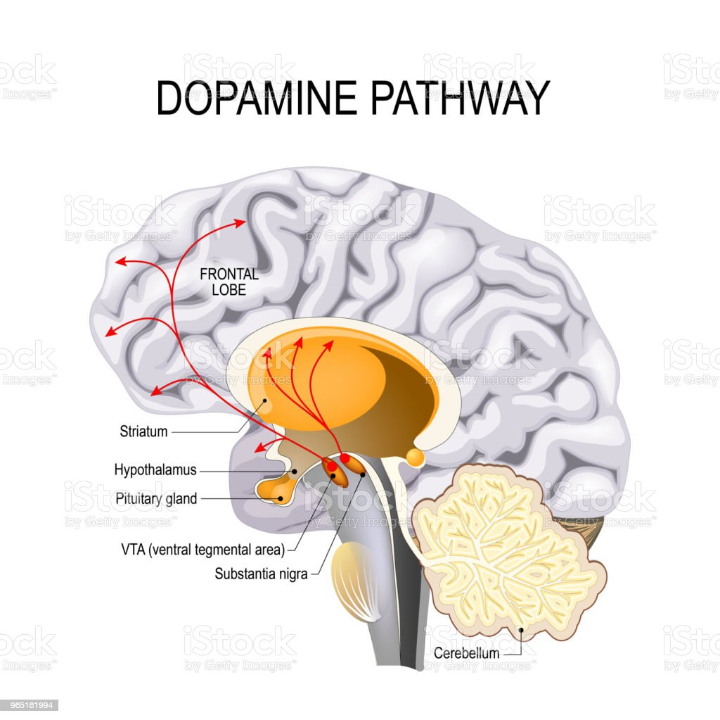 Dopamine hypothesis of schizophrenia royalty-free dopamine hypothesis of schizophrenia stock vector art & more images of alzheimer's disease