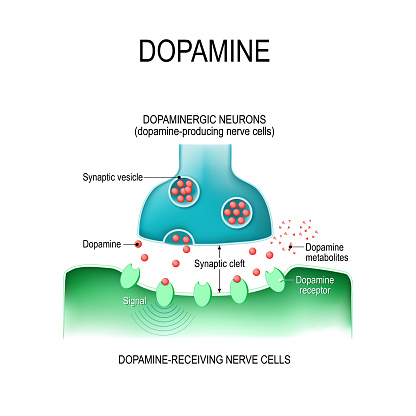 Dopamine. two neurons with  receptors, and synaptic cleft with dopamine.