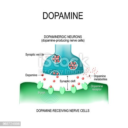 Dopamine. two neurons (dopamine-producing and dopamine-receiving nerve cells),  receptors, and synaptic cleft with dopamine.