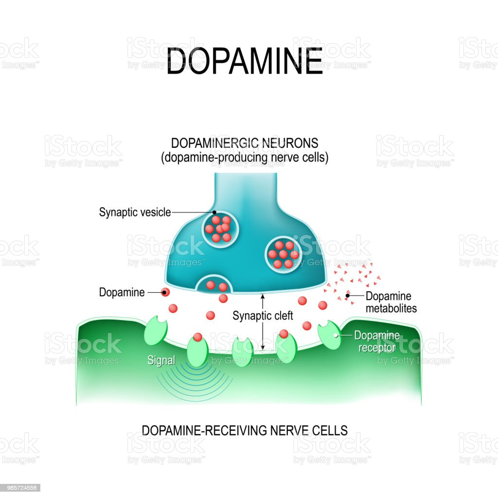 Dopamine. two neurons with  receptors, and synaptic cleft with dopamine. vector art illustration