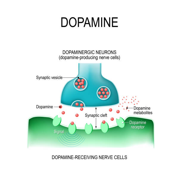Dopamine. two neurons with  receptors, and synaptic cleft with dopamine. Dopamine. two neurons (dopamine-producing and dopamine-receiving nerve cells),  receptors, and synaptic cleft with dopamine. receptor stock illustrations