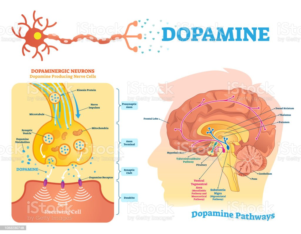Dopamine vector illustration. Labeled diagram with its action and pathways. Dopamine vector illustration. Labeled diagram with its action and pathways. Scheme with closeup presynaptic axon, terminal, synaptic cleft, dendrite and receiving cells. Anatomy stock vector