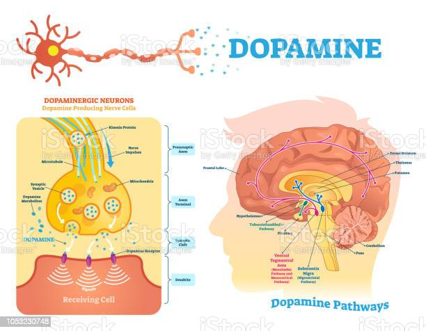 Dopamine Vector Illustration Labeled Diagram With Its Action And Pathways Stock Illustration - Download Image Now