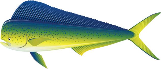 Dorado - fish