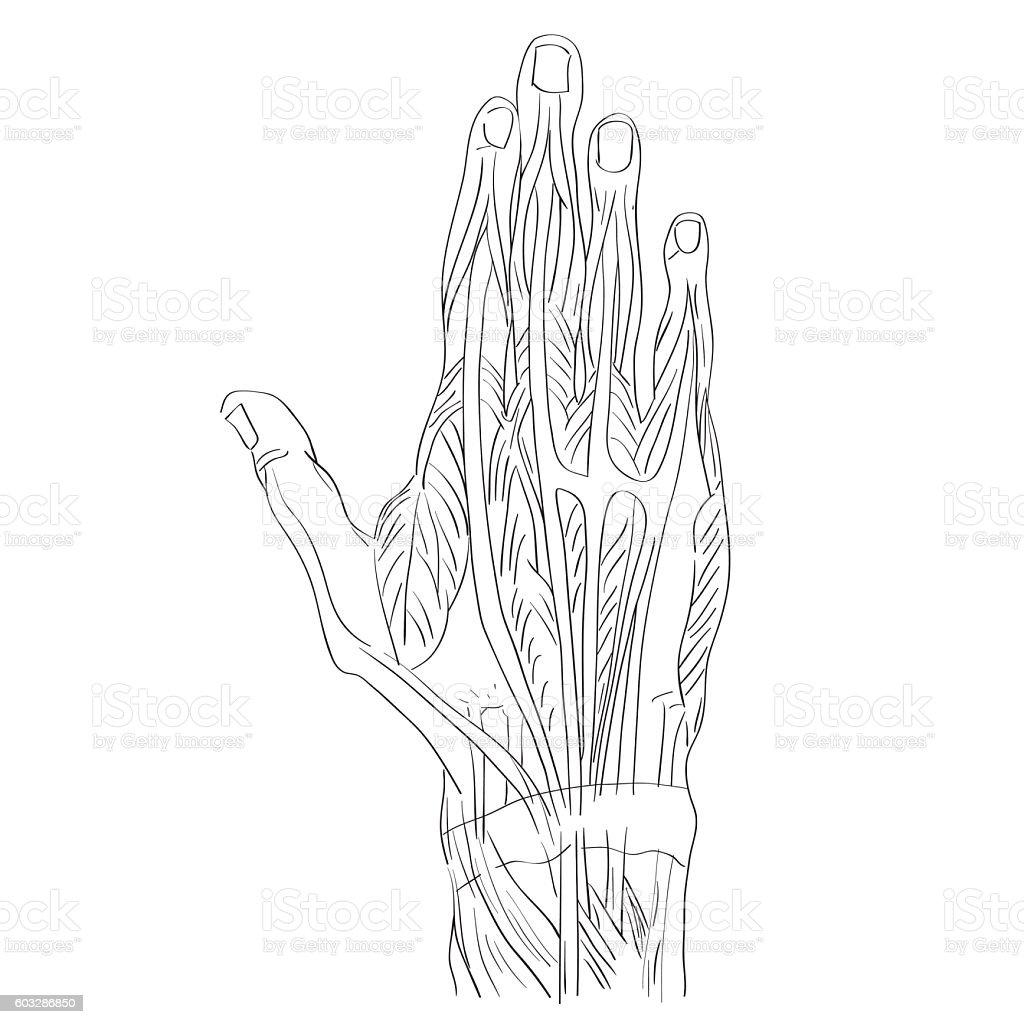 Dorsal Muscles Of The Hand Stock Vektor Art und mehr Bilder von ...