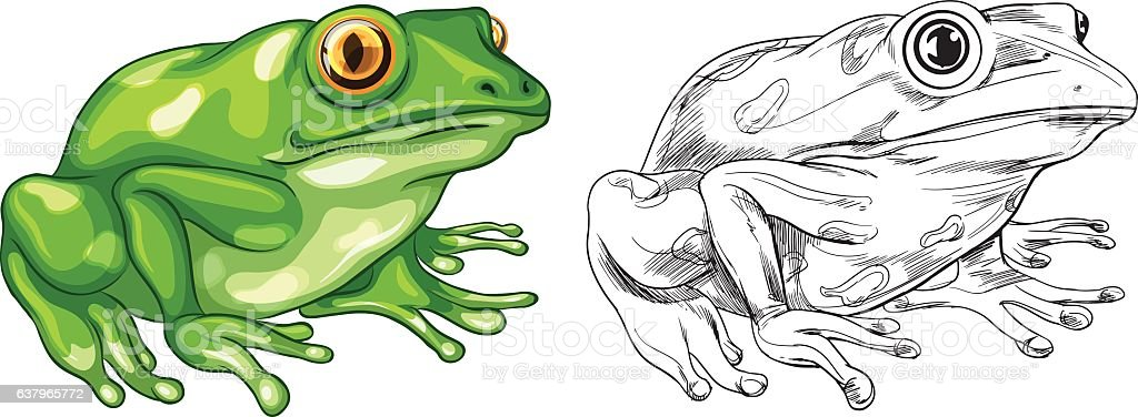 Drafting and colored picture of frog vector art illustration