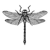 Vector illustration of hand drawn dargonfly. Vinatge insects sketch collection. Black and white illustration.