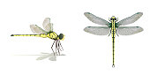 Dragonfly side top vector on white background,Isolated.
