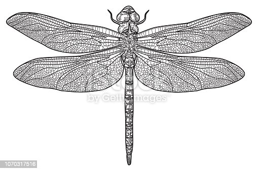 Overhead view of a dragonfly. Extremely detailed drawing.