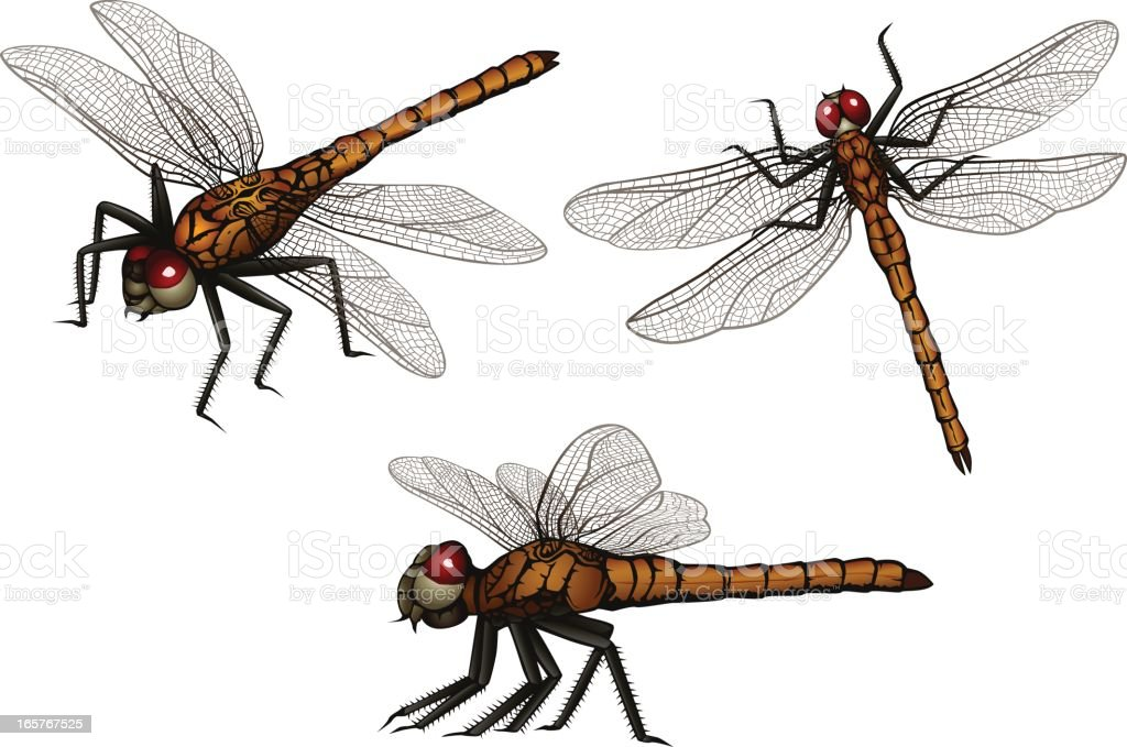 Dragonfly Stock Vector Art & More Images of Anatomy 165767525 | iStock