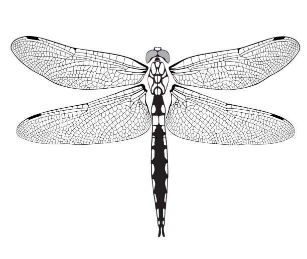 dragonfly dragonfly on a white background aircraft wing stock illustrations