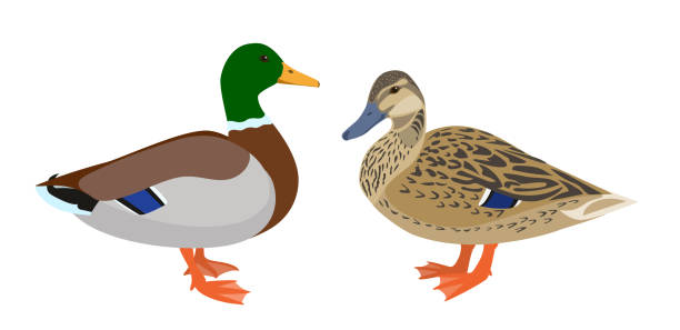 Drake and hen ducks isolated on white background Pair of mallard ducks, vector illustration drake male duck stock illustrations