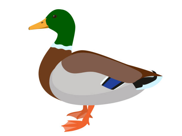 Drake duck isolated on white background Vector illustration of male mallard duck drake male duck stock illustrations