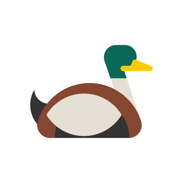 Drake duck male isolated. waterfowl bird Vector illustration Drake duck male isolated. waterfowl bird Vector illustration drake male duck stock illustrations