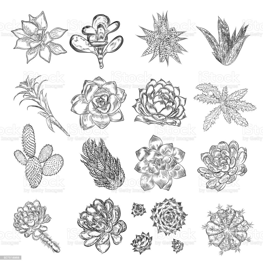 Drawing cactus set succulent bouquets elements for invitations drawing cactus set succulent bouquets elements for invitations greeting cards covers and other m4hsunfo