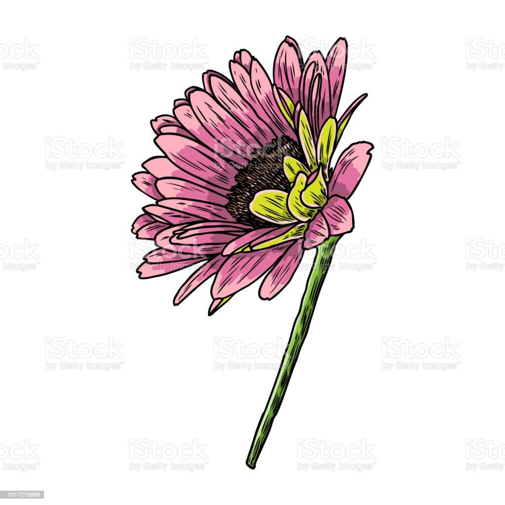Drawing daisy flower floral hand drawn botanical element drawing daisy flower floral hand drawn botanical element illustration vector royalty free izmirmasajfo