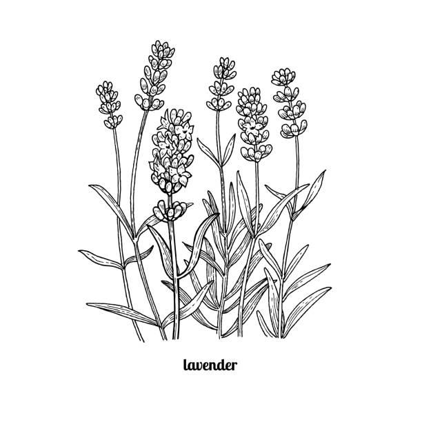 bildbanksillustrationer, clip art samt tecknat material och ikoner med ritning lavendelblommor. - lavender engraving