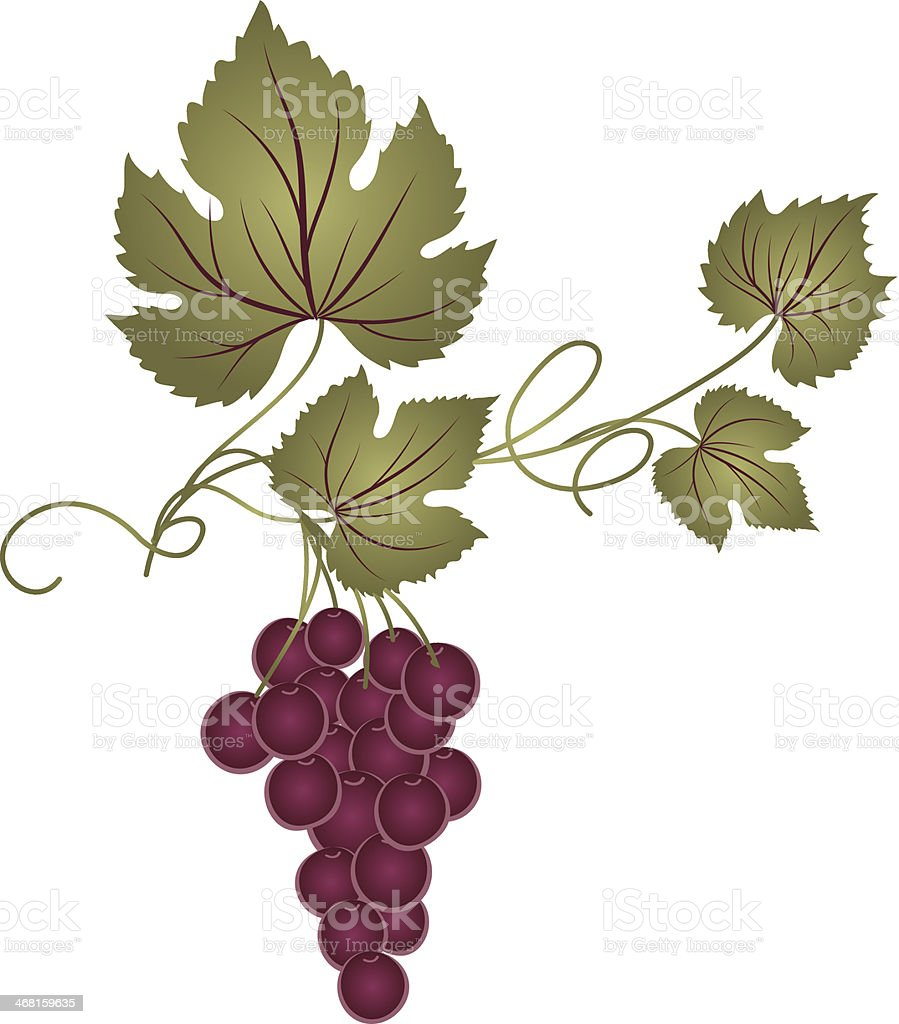 Drawing Of A Decorative Grape Vine stock vector art 468159635 | iStock for Drawing Grape Vines  150ifm