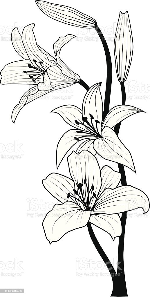 A drawing of a lily flower that is hand drawn  vector art illustration