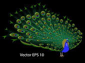 Drawing of a realistic peacock on a black background, isolated, vector illustration