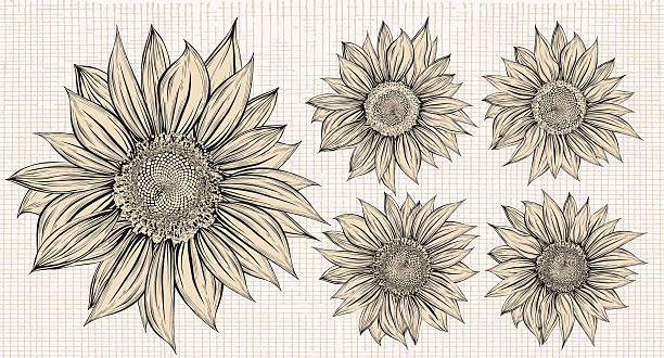 A drawing of a set of five sunflowers vector art illustration
