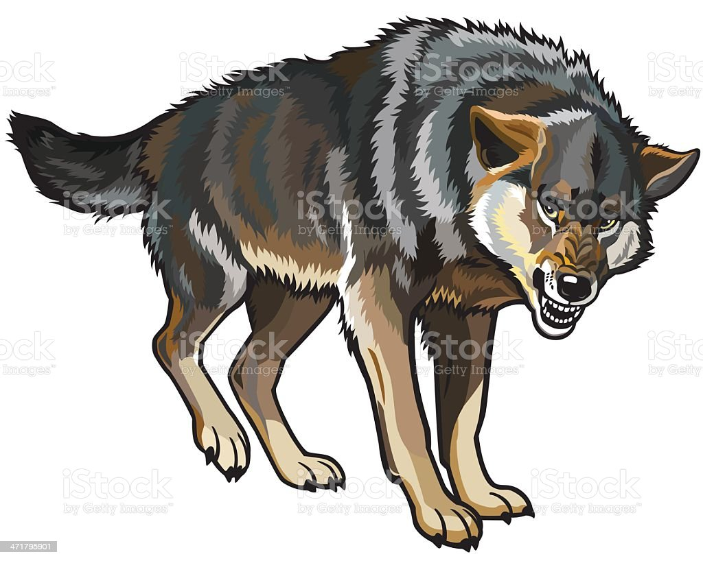 Drawing of a snarling wolf, bearing it's teeth vector art illustration