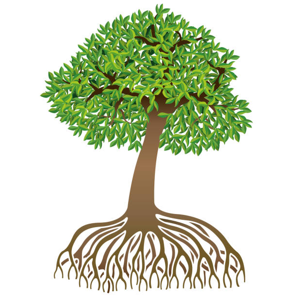 Drawing of brown mangrove with long roots and green leaves on white background.Vector image Drawing of brown leafy mangrove with long roots and green leaves on white background.Vector image alejomiranda stock illustrations