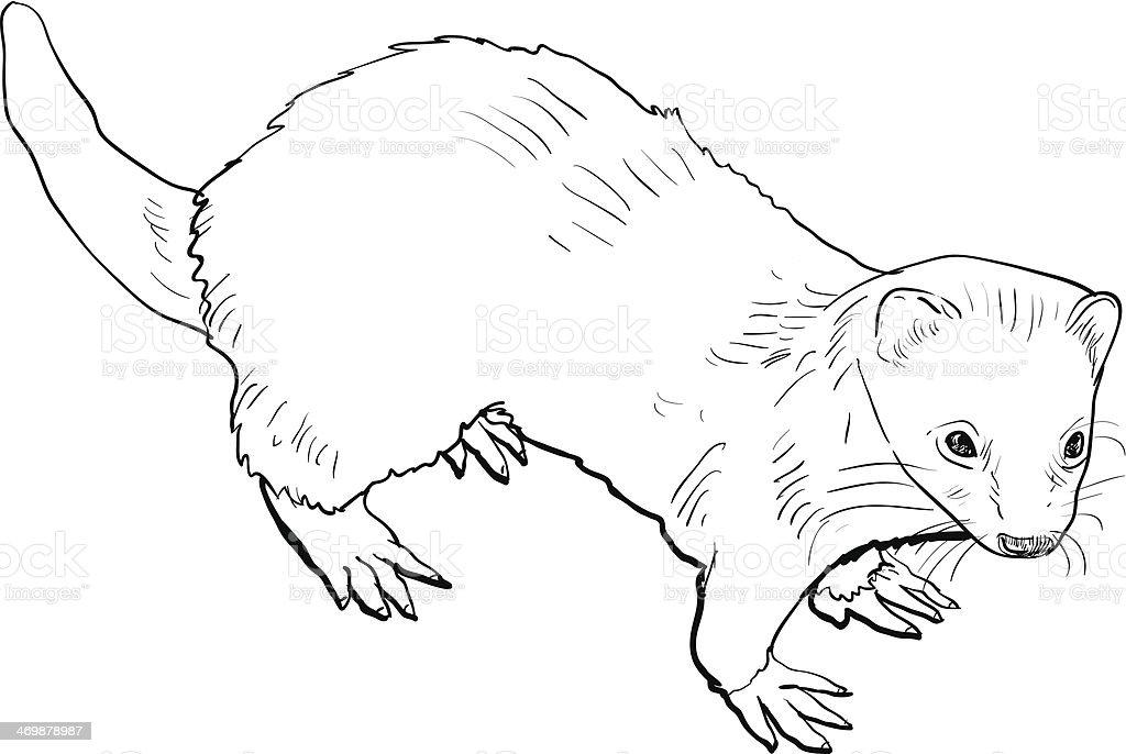Disegno del furetto immagini vettoriali stock e altre - Animale domestico da colorare pagine gratis ...