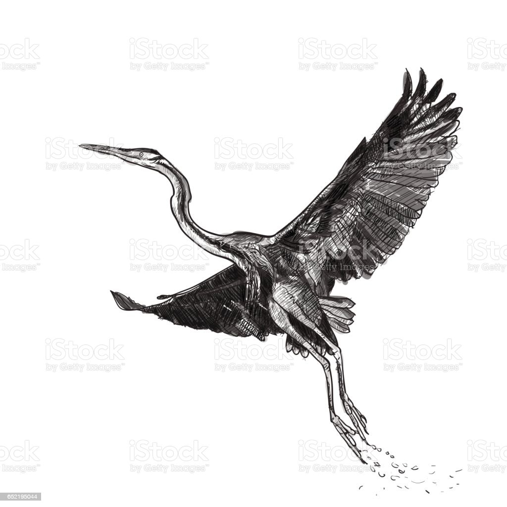 Drawing of flying Purple heron bird on white background
