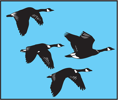 Drawing of four black flying swans in blue sky