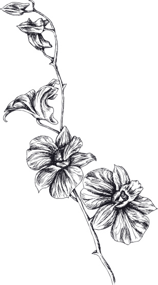 Drawing of orchid