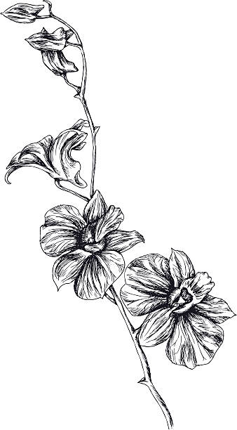 Drawing of orchid Fully vector hand-drawn illustration of orchid branch. Hi-Res psd (with separated background) & jpeg included in a zip file. orchid stock illustrations