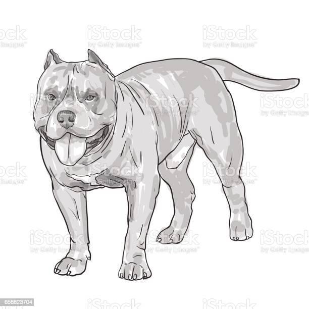 Drawing of pitbull dog isolated on white background vector id658823704?b=1&k=6&m=658823704&s=612x612&h=63ibvex83nojz1ucnnacnl kcvyasjgm4qx 6iwajxa=