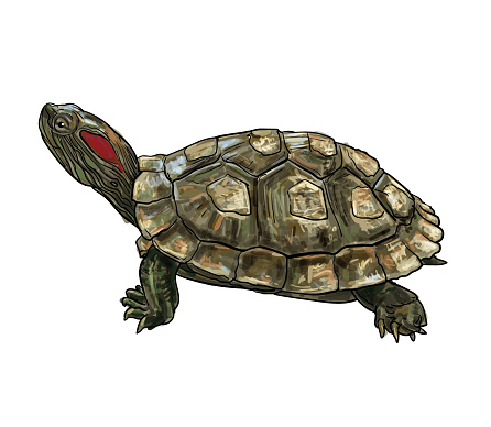 Drawing of Red-eared Slider (Trachemys scripta elegans) turtle.