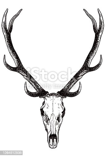 istock Drawing of skull and antlers of a deer 1264512535