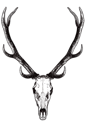 Drawing of skull and antlers of a deer