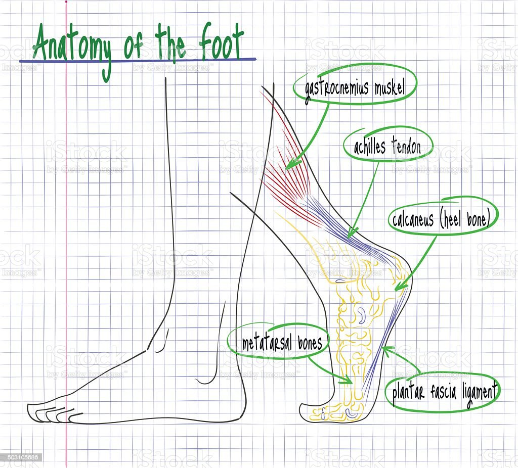 drawing of the anatomy of the human foot side vector art illustration