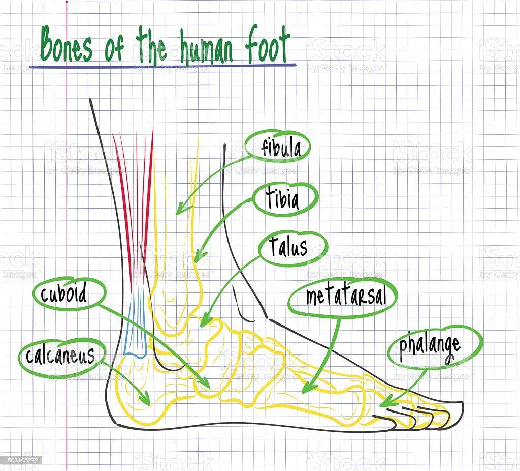 Zeichnung Der Anatomie Des Menschlichen Fußes Stock Vektor Art und ...