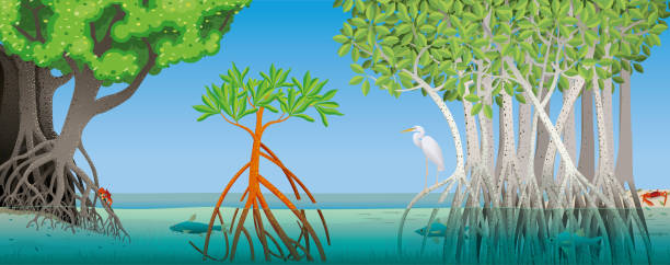 drawing of three different types of mangrove with underwater roots with fish, crabs and a white heron in the scene. vector image - alejomiranda stock illustrations