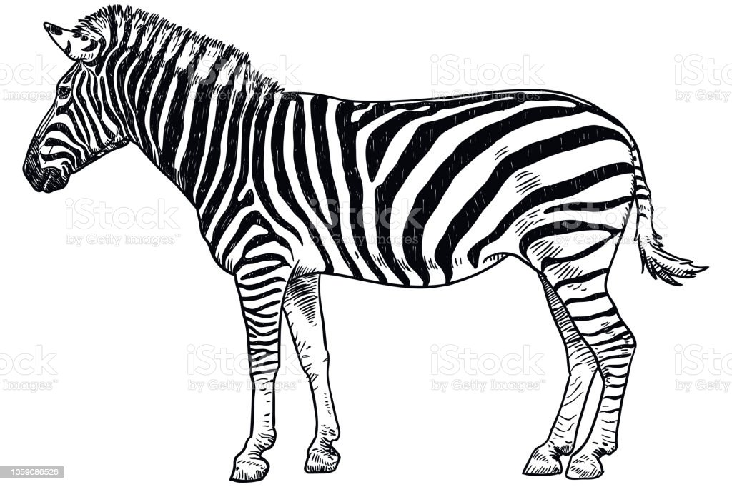 drawing of zebra stock illustration  download image now
