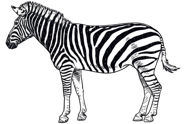 Zebra without stripes real - photo#43