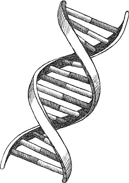 DNA Drawing Vector illustration of DNA. helix model stock illustrations