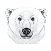 Drawing with watercolor of predator mammal polar bear, artic, portrait of polar bear, in realism style, white wool, pattern, printshop, winter, new year, christmas, on white background
