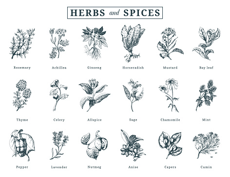 Drawn Herbs And Spices Vector Set Botanical Illustrations Of Organic Eco Plants Used For Farm Stickershop Label Etc Stock Illustration - Download Image Now