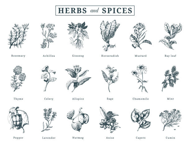 drawn herbs and spices vector set. botanical illustrations of organic, eco plants. used for farm sticker,shop label etc. - лекарственная трава stock illustrations