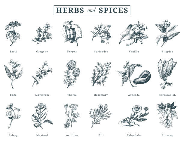 Drawn herbs and spices vector set. Botanical illustrations of organic, eco plants. Used for farm sticker,shop label etc. Drawn herbs and spices vector set. Botanical illustrations of organic, eco plants. Used for farm sticker, shop label etc. basil stock illustrations