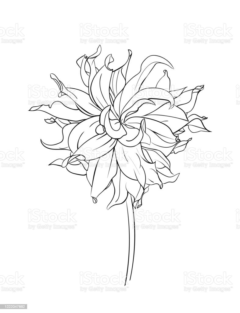 Drawn Outline Dahlia Flower Isolated On A White Background Abstract Minimal Plants Vector Illustration Stock Illustration Download Image Now Istock
