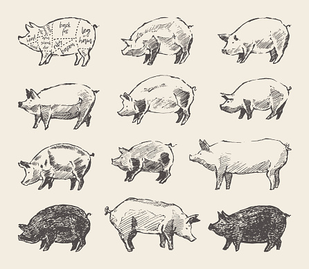 Drawn vector pigs Mangalica pork restaurant menu