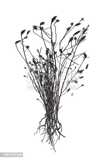 Silhouette stipple illustration of a Bunch of Dried, dead flowers