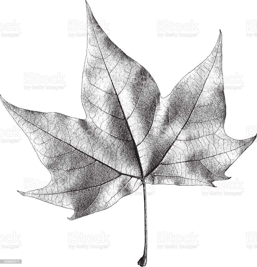 Dry Maple Leaf – Vector Illustration vector art illustration